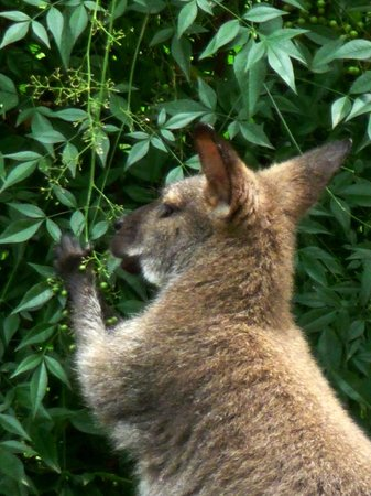 Nashville Zoo: The animal that is similar to a kangaroo!