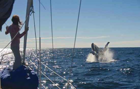 Humpback Breaching next to Getaway Sailing on the Gold Coast.Great Whale watching experience.