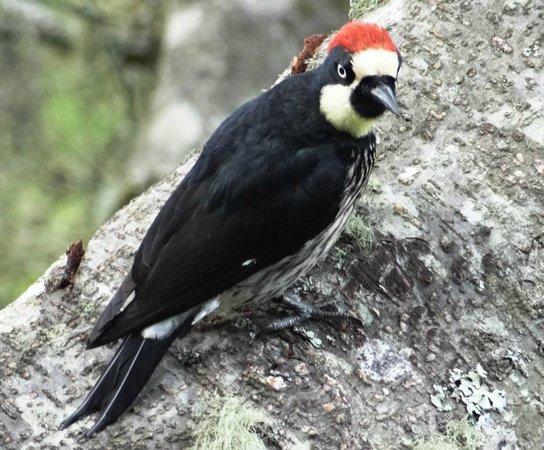 Comidas Típicas Miriam: Acorn Woodpecker - very active at Miriam's bird feeder