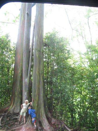 Gray Line - Polynesian Adventure Tours: rainbow gum tree
