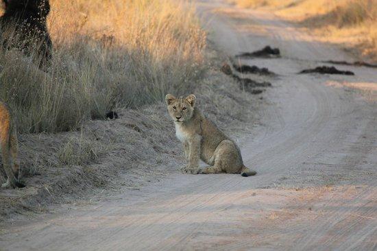 Makweti Safari Lodge: Lion cub on the road