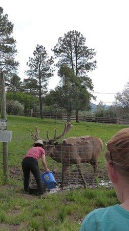 Rocky Mountain Wildlife Park : Elk - feeding time
