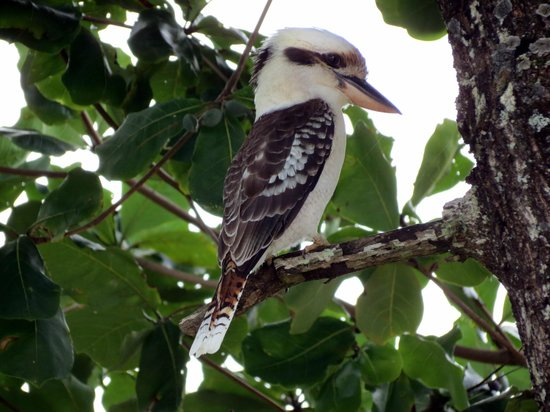 Hibiscus Lodge: Kookaburra in the garden