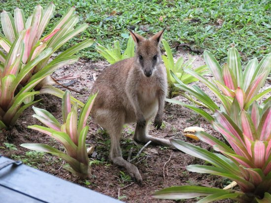 Hibiscus Lodge: Wild Wallaby in the garden