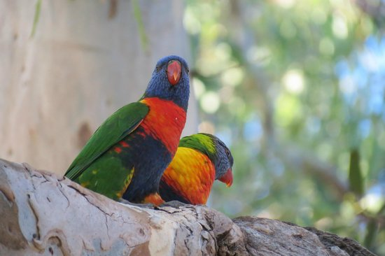 Hibiscus Lodge: Rainbow Lorikeets