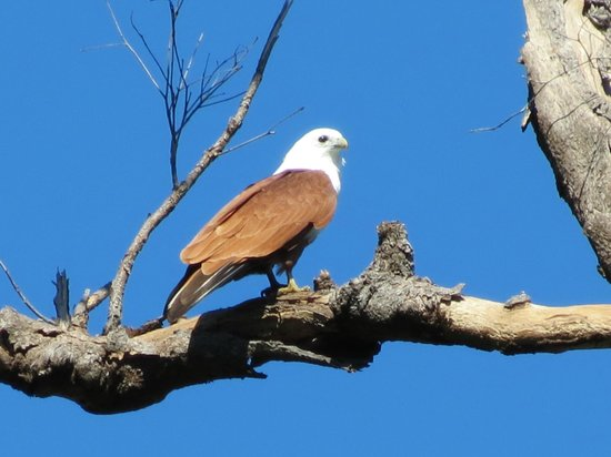 Hibiscus Lodge: Brahminy Kite seen from the garden