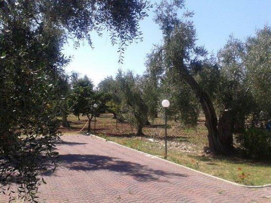 Residence Alba: uliveto in cui è immerso il residence