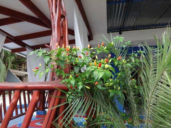 Ahora Si Veggie Restaurant: Chilies in the bush...