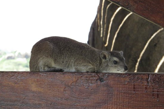 Seronera Wildlife Lodge: Rock Hyraxes are everywhere around the lodge.