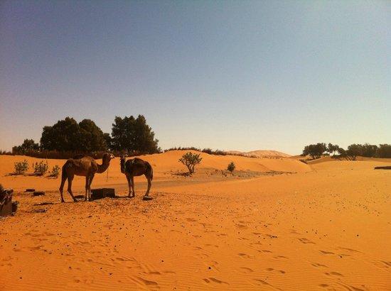 Ksar Merzouga: Les chameaux- indissociable du paysage