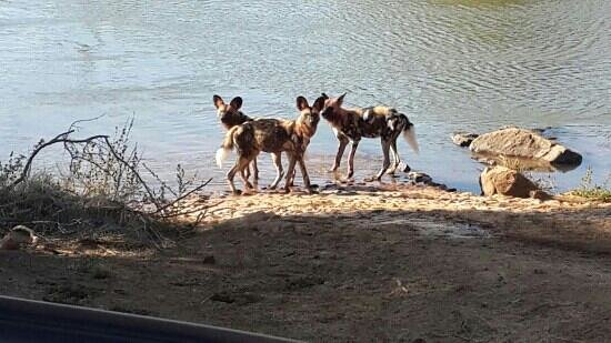Madikwe River Lodge: Wild dogs of Madikwe