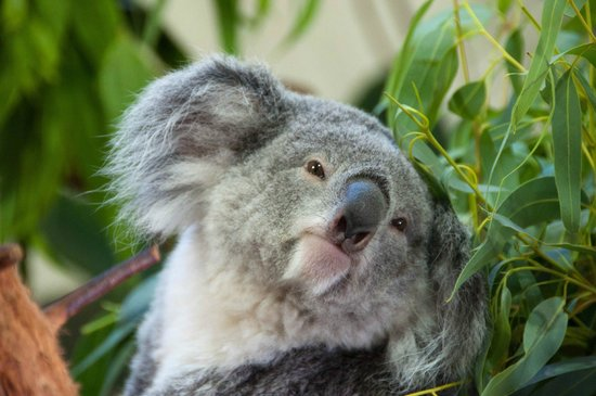 Riverbanks Zoo And Botanical Garden: Koala, Riverbanks Zoo, Columbia, South  Carolina