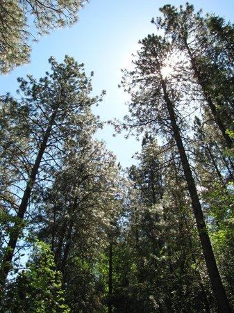 Lake Chelan State Park: Beautiful Ponderosa pines on Little Bear Trail.