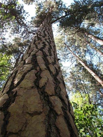 Lake Chelan State Park: The distinctive bark of the Ponderosa pine.