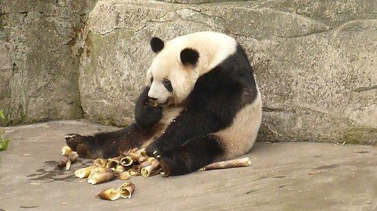 Chongqing Zoo (Chongqing Dongwuyuan): Panda Feeding
