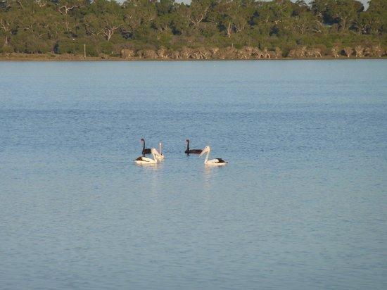 Riverside Cabin Park: Pelicans & Swans on the Leschenault Estuary