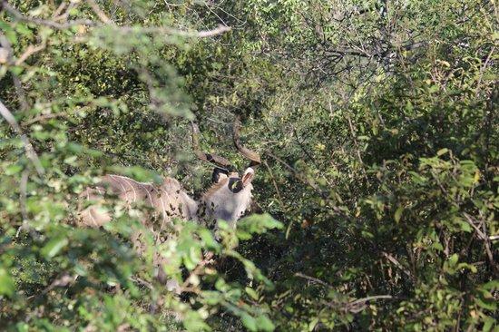 Makalali Private Game Lodge: Makalali Kudu