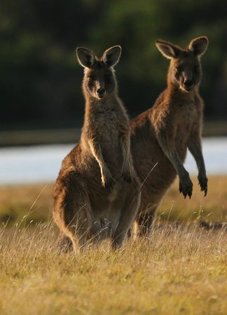 Narawntapu National Park: Forester Kangaroos on Spring Lawn
