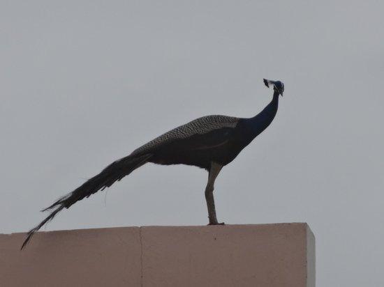 Sparsa Resort: Peacock at the resort