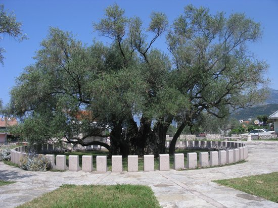 Bar, Montenegro: Old Olive Tree