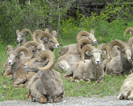 Big Horn Sheep Along the Road to Bull River Guest Ranch