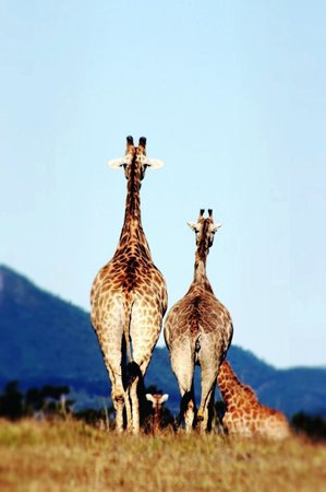 The Baroness Luxury Safari Lodge: giraffes walking away