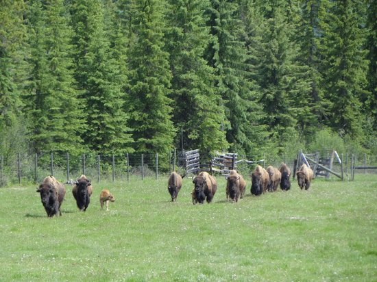 Rocky Mountain Buffalo Ranch & Guest Cottage Buffalo Tours: 10