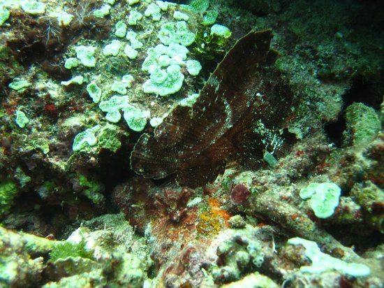 Bunaken SeaGarden Resort: Black leaf scfish
