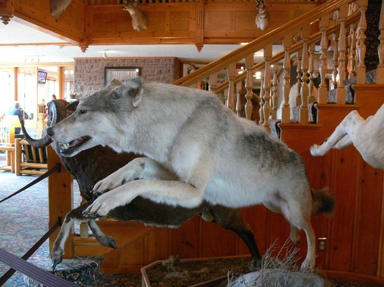 Stage Coach Inn: 'Hunting Trophy' Wolf