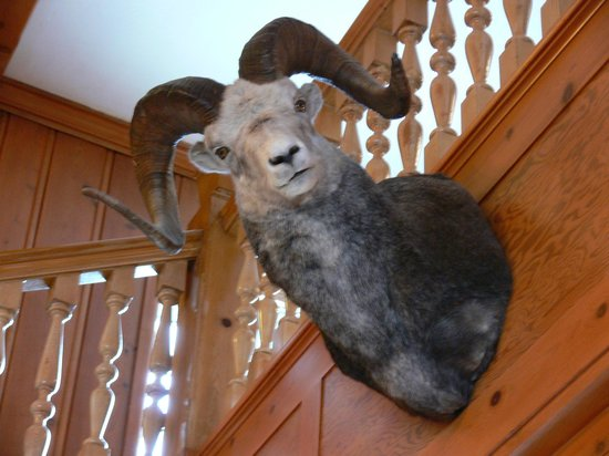 Stage Coach Inn: 'Hunting Trophy' Bighorn sheep