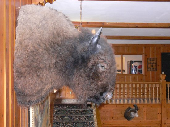 Stage Coach Inn : 'Hunting Trophy' Bison/Buffalo