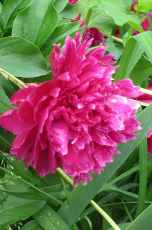 Oak Park Heights, MN: Peony on the grounds