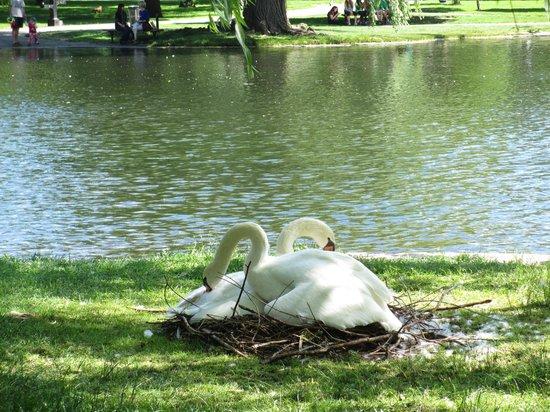 Boston Public Garden: les cygnes couvant leurs oeufs