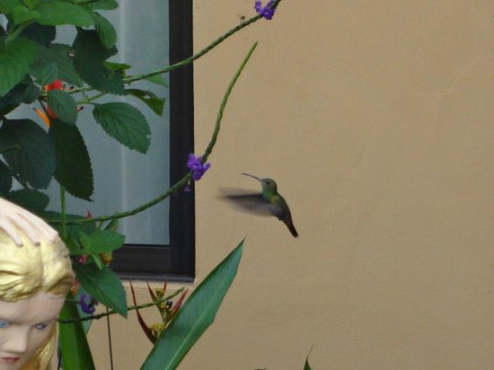 Casa Marin B&B: One of the hummingbirds in the garden.