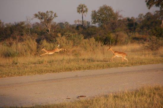 Wilderness Safaris Seba Camp : impala au decolage