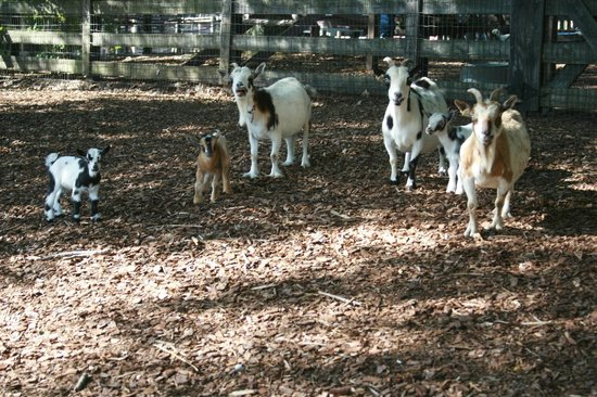 Canton, GA: June 2013 New Baby Goats with Mamas
