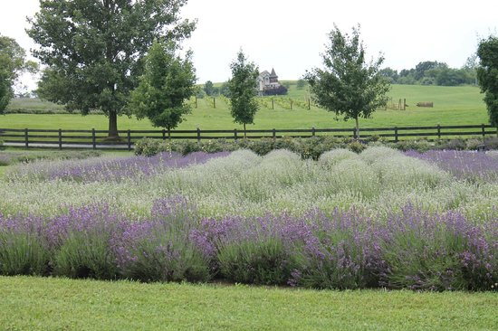 Lavender Field - Picture of White Oak Lavender Farm & The