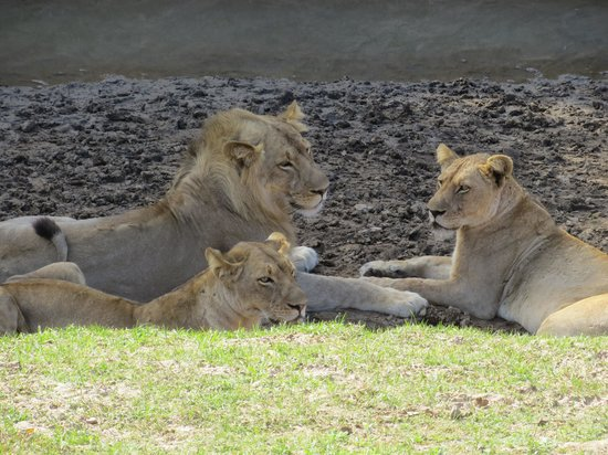 Tena Tena Camp : We had watched these three chase impala the night before.