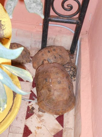 Riad Layla Rouge : The family of tortoises
