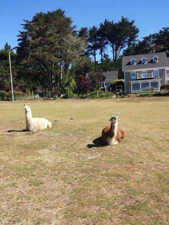 Glendeven Inn Mendocino : The Llamas