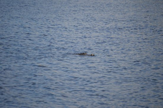 Camp Holly Fishing & Airboats: Gator