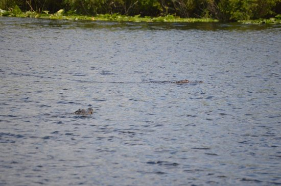 Camp Holly Fishing & Airboats: gator's swimming