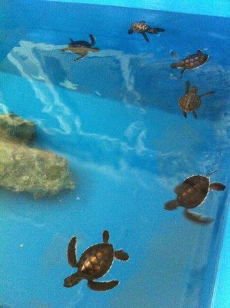Banyan Tree Vabbinfaru: Turtle feeding