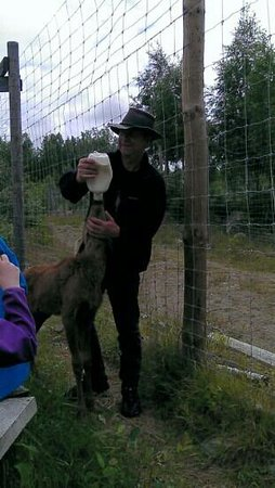 Nybro, Sverige: 5 weeks old moose