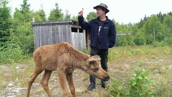 Nybro, Sweden: calf