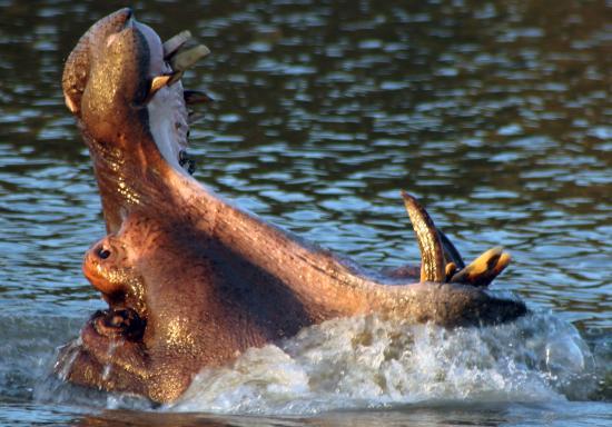 Shoreline Hippo and Croc Cruises