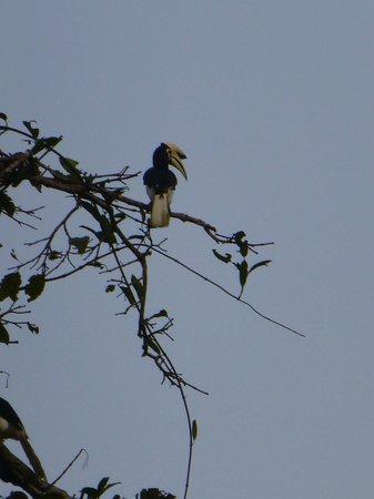 Bilit Adventure Lodge: Hornbill