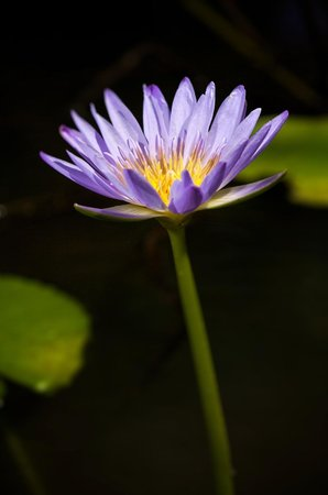Living Valley Springs Health Retreat : A waterlily on one of our many dams