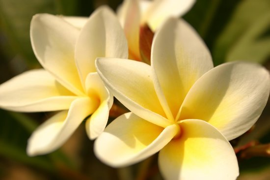 Living Valley Springs Health Retreat: Frangipani flowers