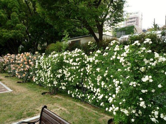 Utsubo Park: バラのカーテンのよう